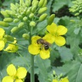Honey bee pollinating canola