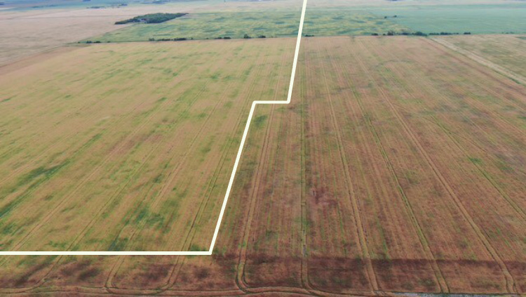 aerial view of wheat field showing improved quality with Miravis® Ace treatment on right half of field
