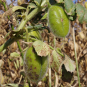 Lesions on pods