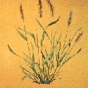 Foxtail, yellow
