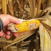 Damage to corn cob