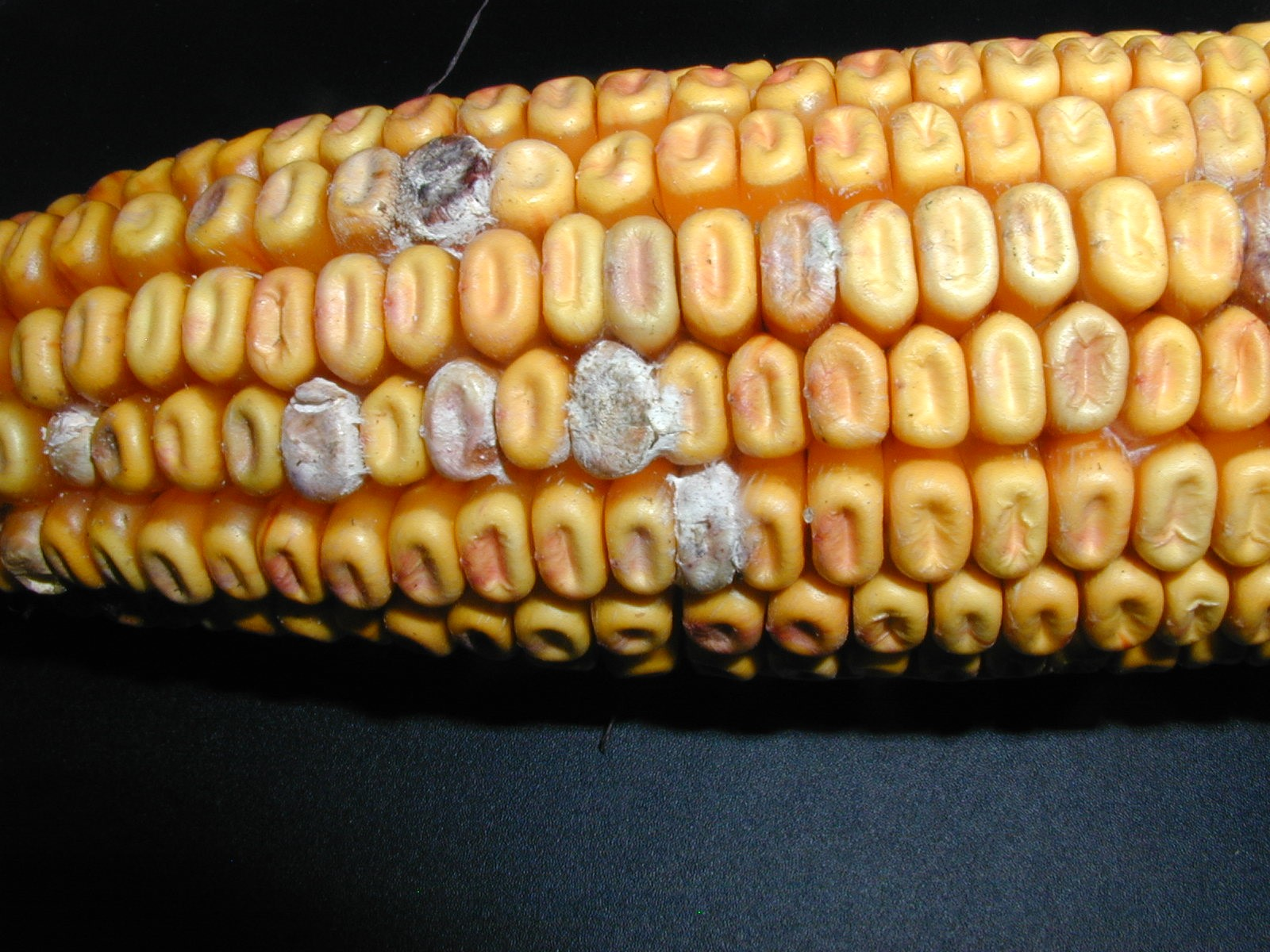 Single kernels with white or grayish mould
